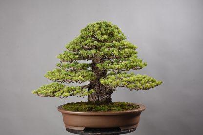 "Pinus pentaphylla ""zuisho"""