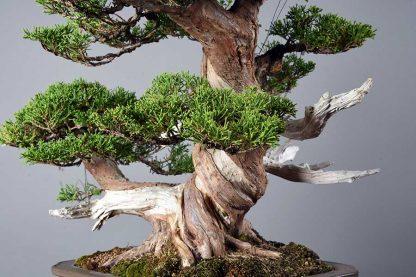 """Juniperus chinensis var. """"itoigawa"""""""