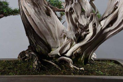 Juniperus rígida