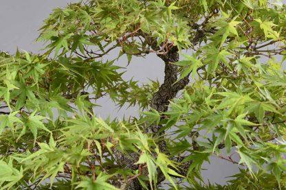"""Acer palmatum var. """"arakawa"""""""