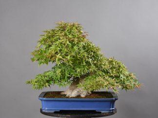 """Acer palmatum var. """"benichidori"""""""