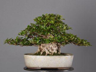 "Rhododendron indicum var. ""akane"""