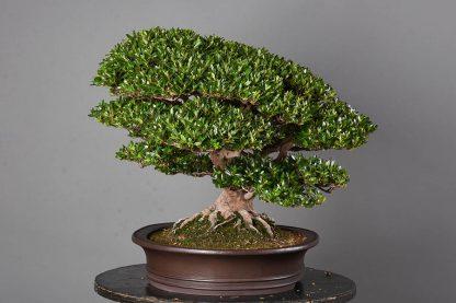 """Rhododendron indicum var. """"chinzan"""""""