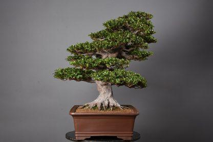 "Rhododendron indicum var. ""hanazono"""