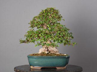 Carpinus turczaninovii