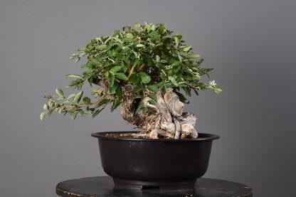 Lonicera japonica.