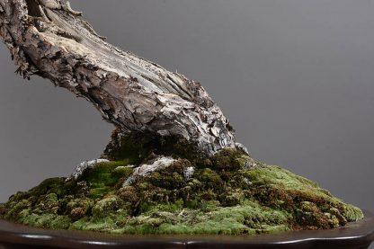 Pinus parviflora pentaphylla